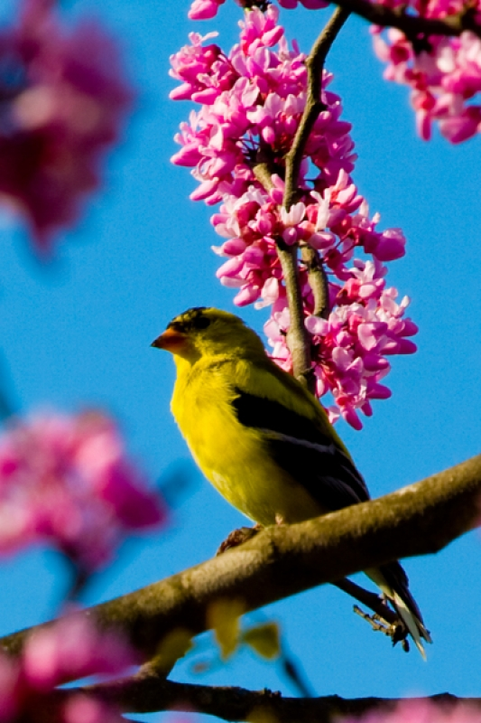 Yellow Finch In Redbud