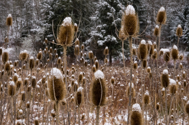 Teasel And Snow