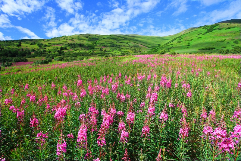 Palmer Creek Fireweed – Hope Alaska