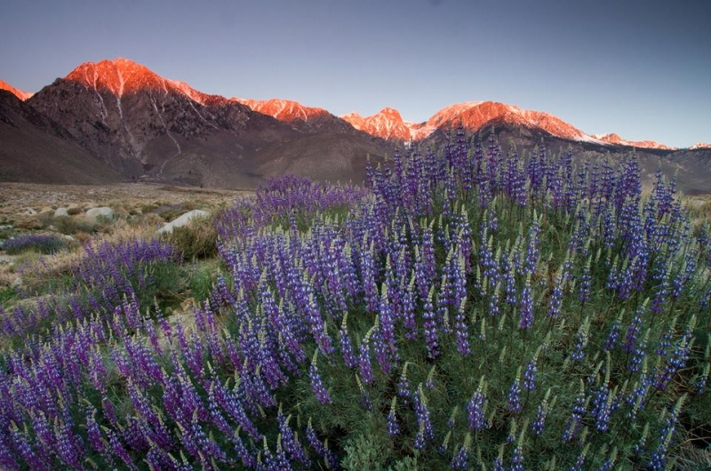 Lupin Sunrise