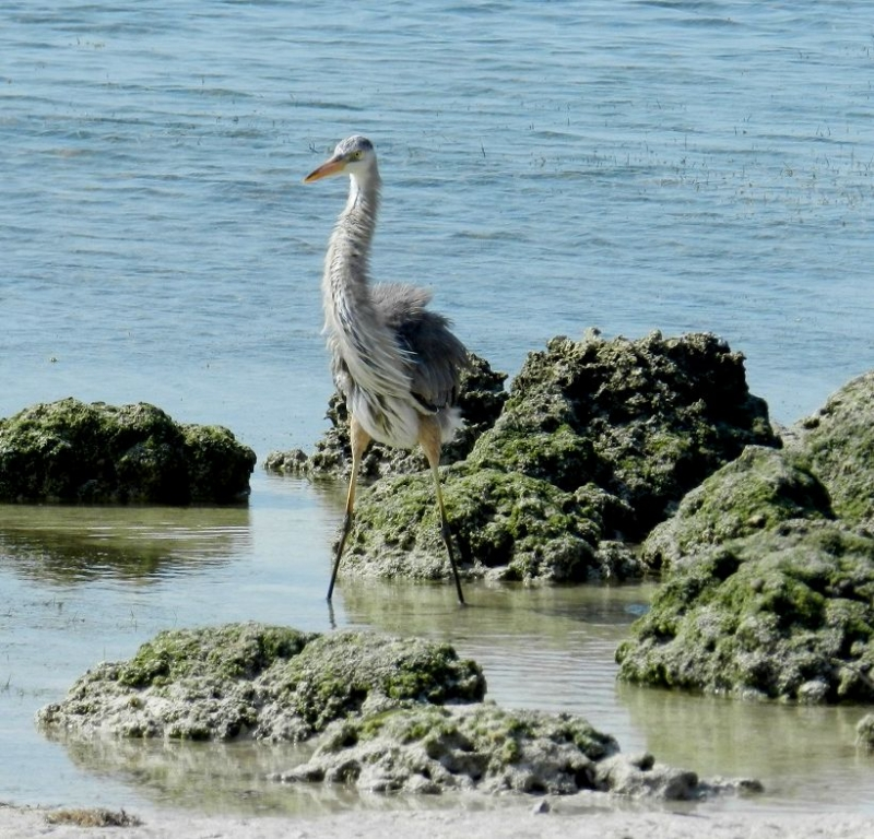 Heron After Chasing Away The Pelican