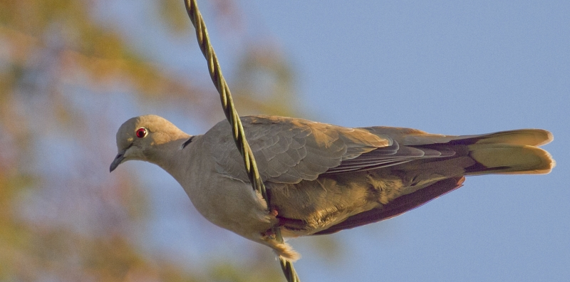 Eurasian Collared Dove In Evening Light