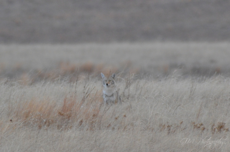 Coyote In The Plains