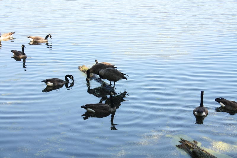 Geese On A Lake