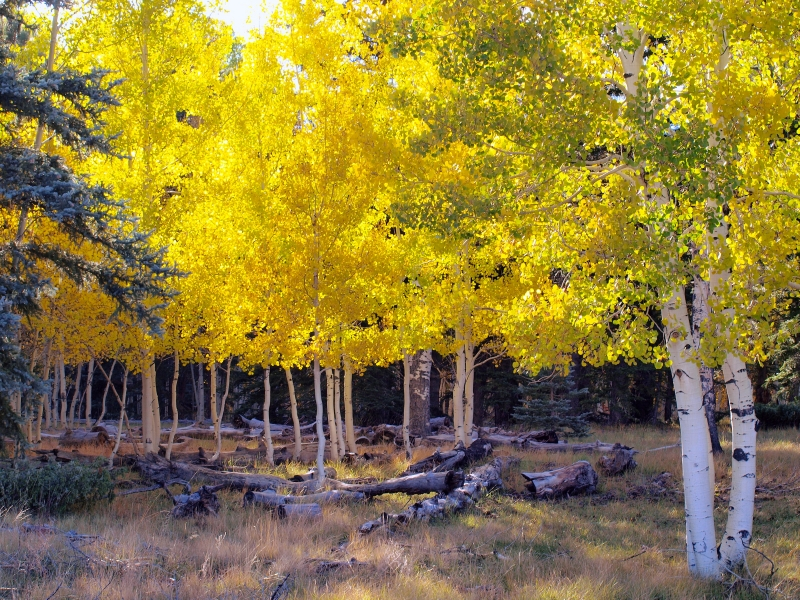 Stand Of Aspen In Full Fall Color (2)