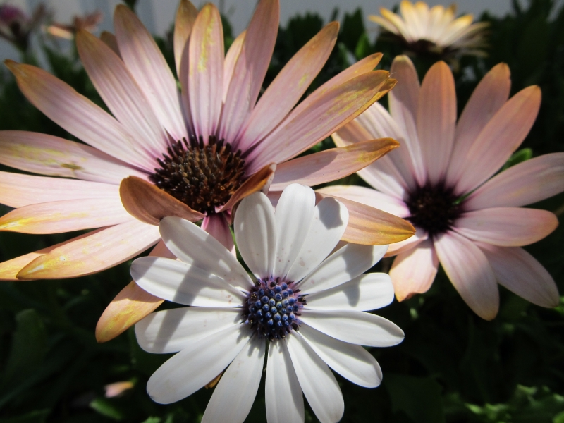 Group Of Daisies