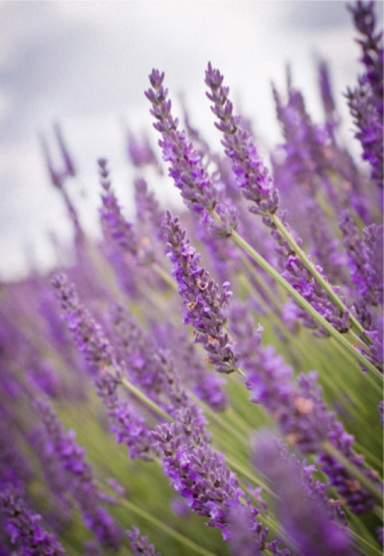 Lavender Blowing In The Wind