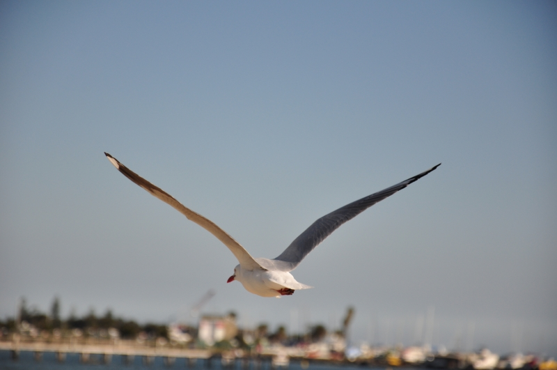 Seagull On The Flight