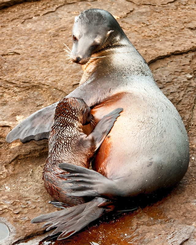 Sea Lion, Mother And Child