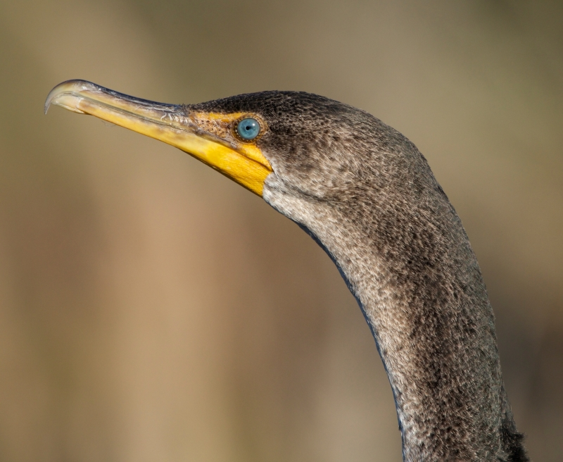 Portrait Of A Young Double-crested Cormorant