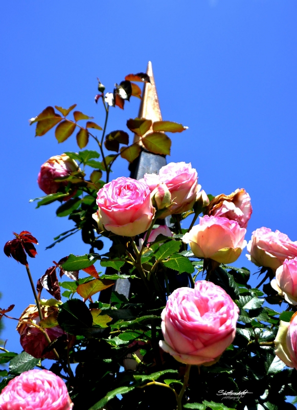 Roses To The Sky