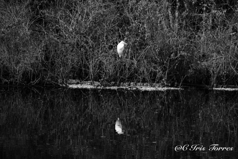 The Great Egret Reflection