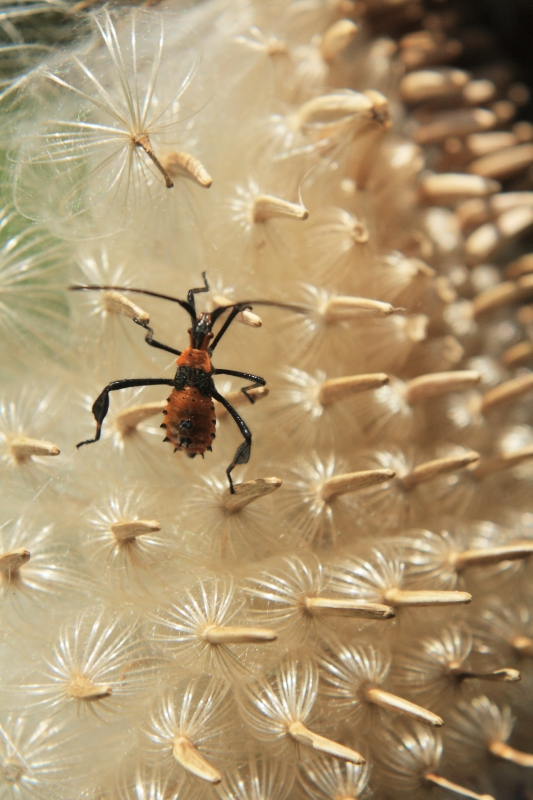 The Assassin Bug And Thistledown