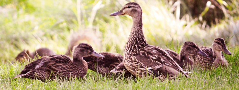 They're Growing Up Fast – Mama And Her Not So Little Ducklings