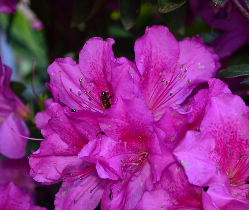 Azalea With Busy Bee