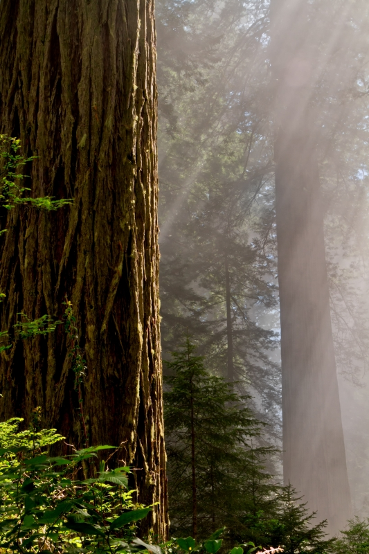 Mystical Redwoods
