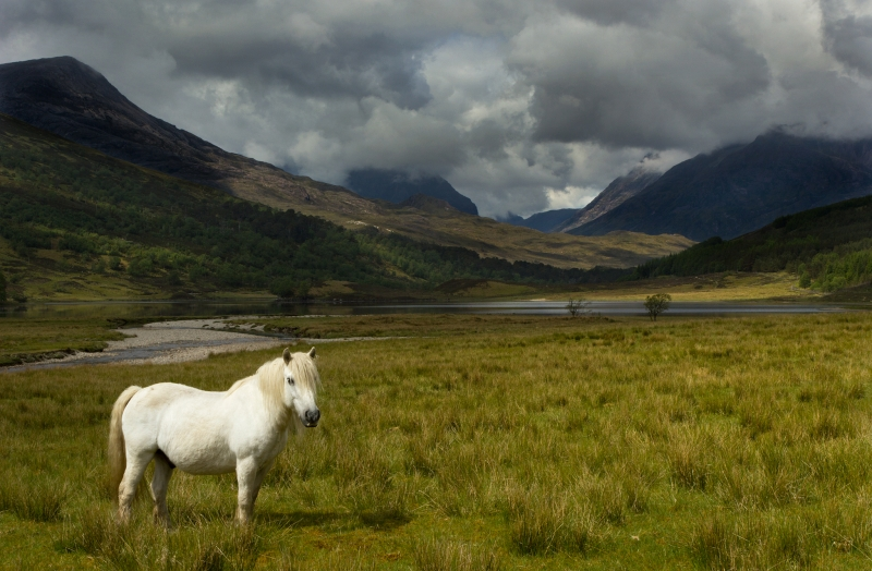 Wild Pony At Loch Coulin