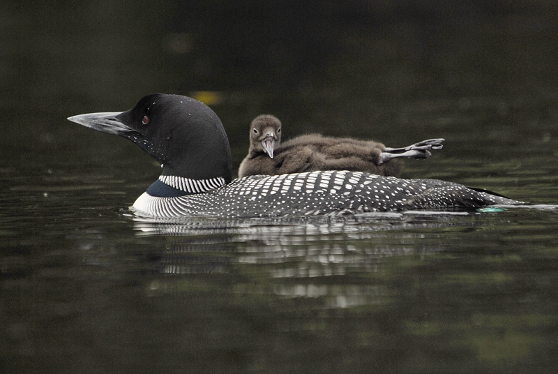Loon Lift Ii