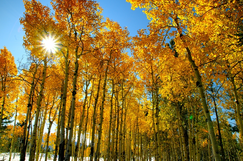 Sunburst Through Aspen