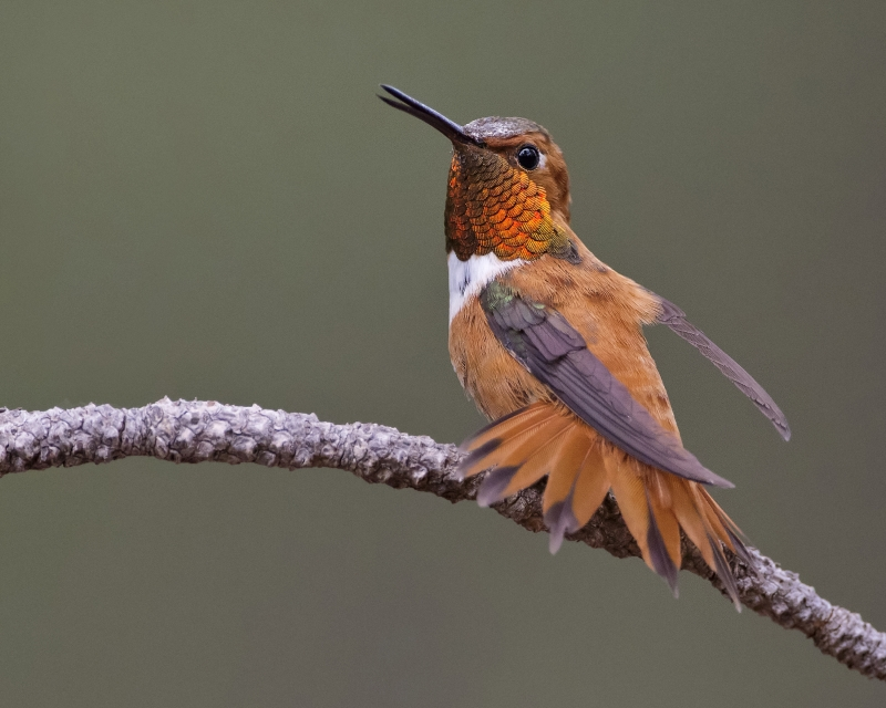 Rufous Hummingbird In Defensive Posture