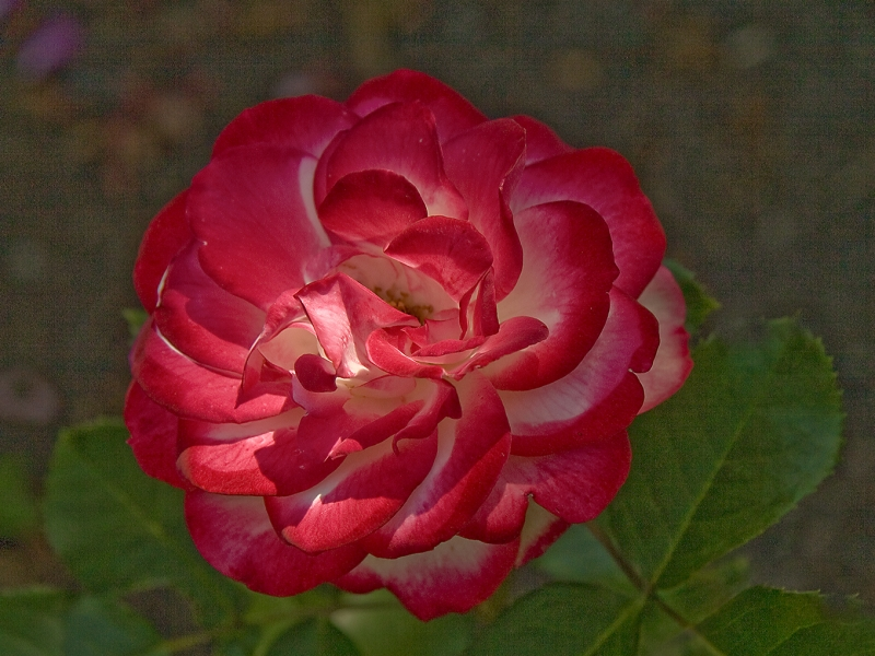 Rose At U Of Minn Arboretum