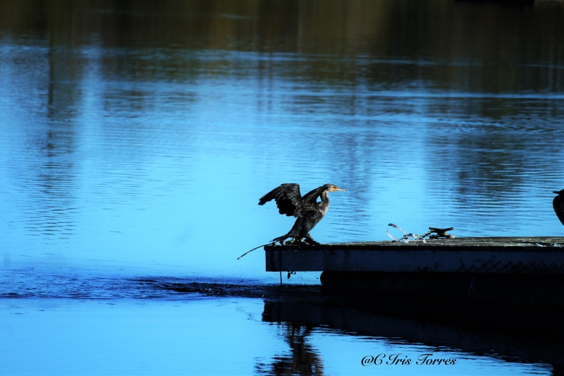 Anhinga Drying His Feathers