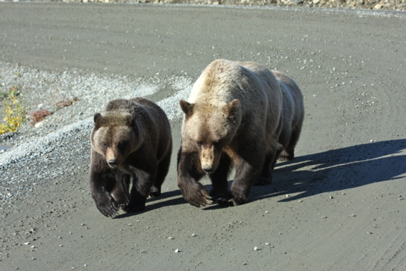Grizzlies Walking In Step
