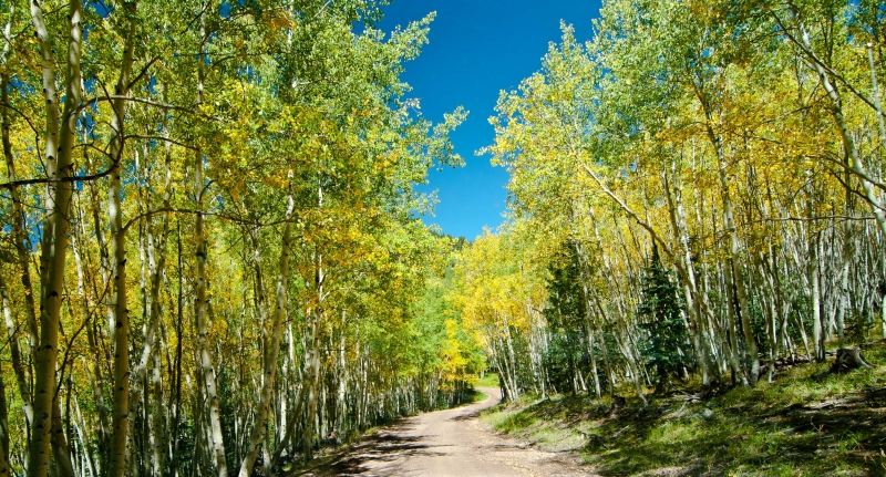 Arizona Aspens