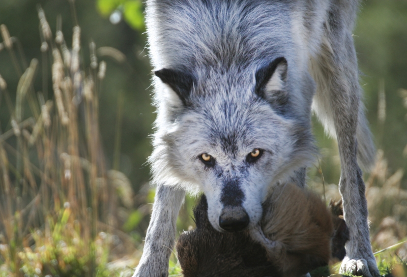 The Wolf And His Dinner