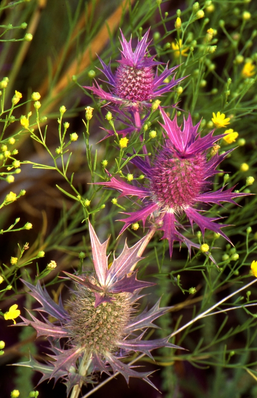 Pretty, Prickly, Pink