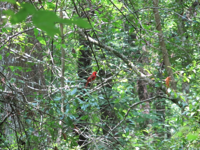 Cardinal Behind Branches