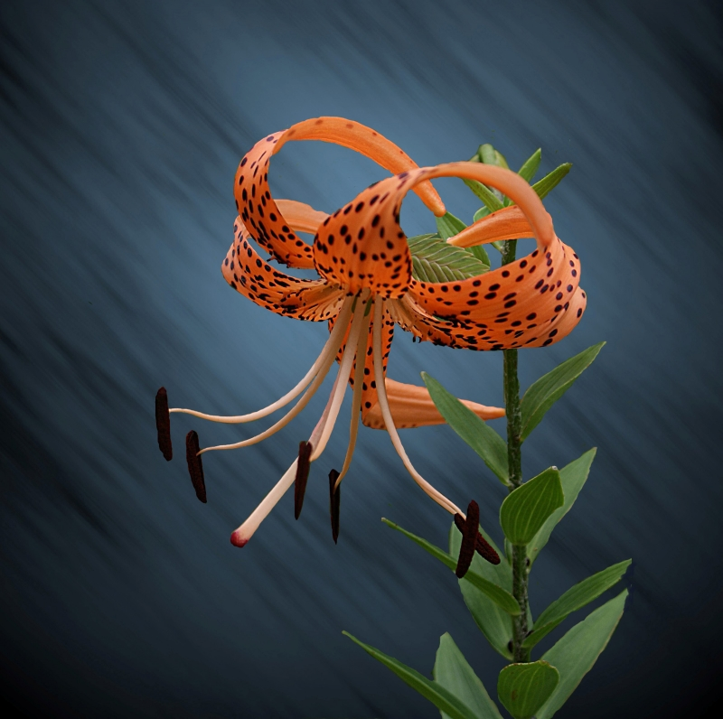 Single Tiger Lilly