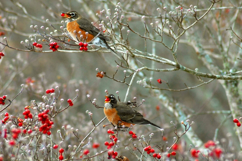 Robins Eating Berries