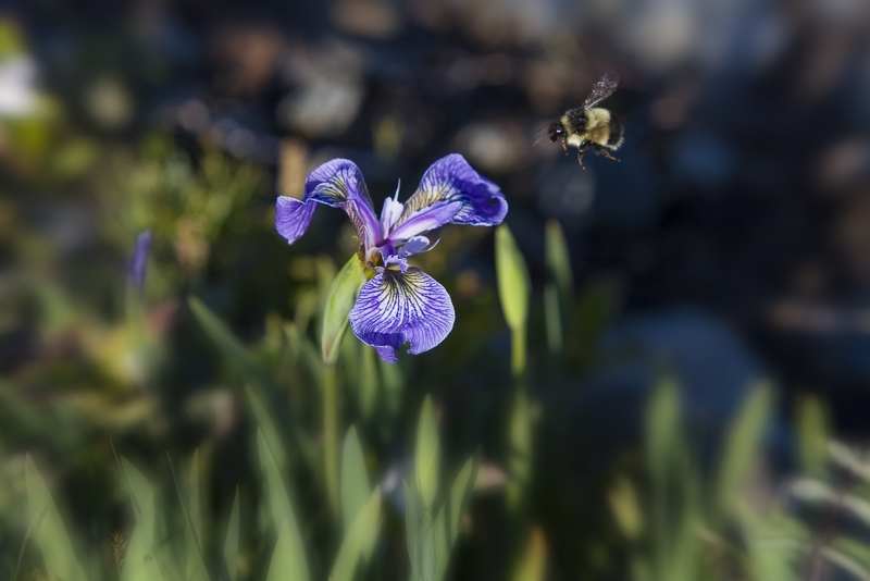 Purple Flag Iris With Bee