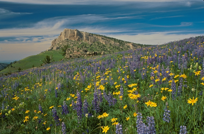 Wildflowers In The Big Horn Mountains