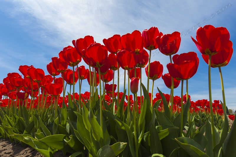 Life From The Tulip's View