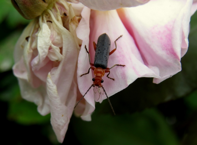 Rose Beetle