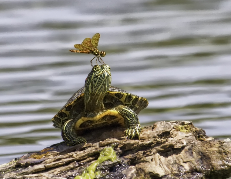 Dragon On Turtle