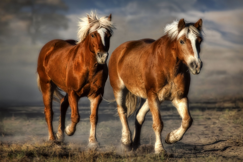 Two Haflinger Horses Jogging
