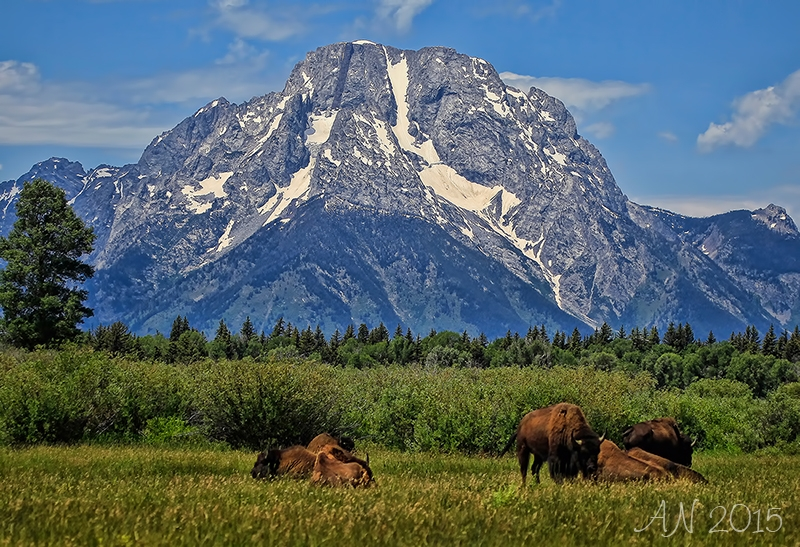 Mt. Moran And The Buffalo