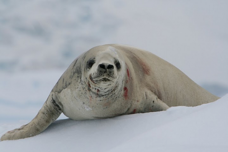 Wounded Crabeater Seal Searching For Some Peace