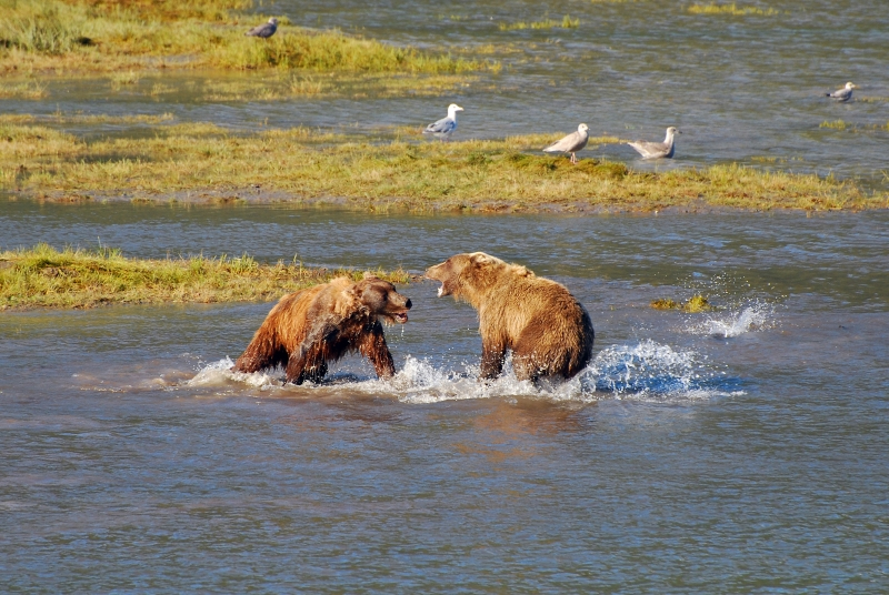 Grizzy Bears Fighting Over Salmon