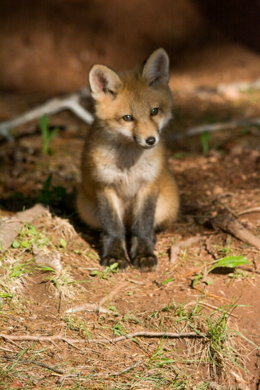 Little Red Fox Posing