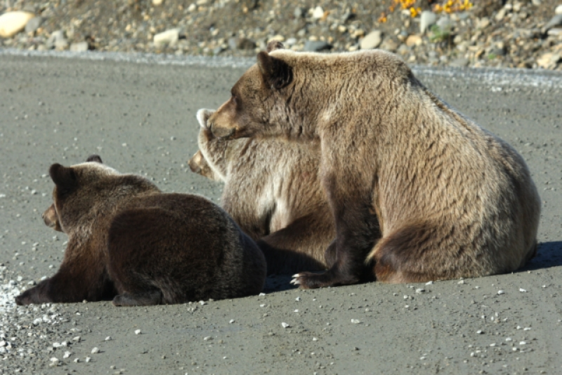 Grizzly And Two Cubs Watching Another Grizzly 200 Yds Ahead