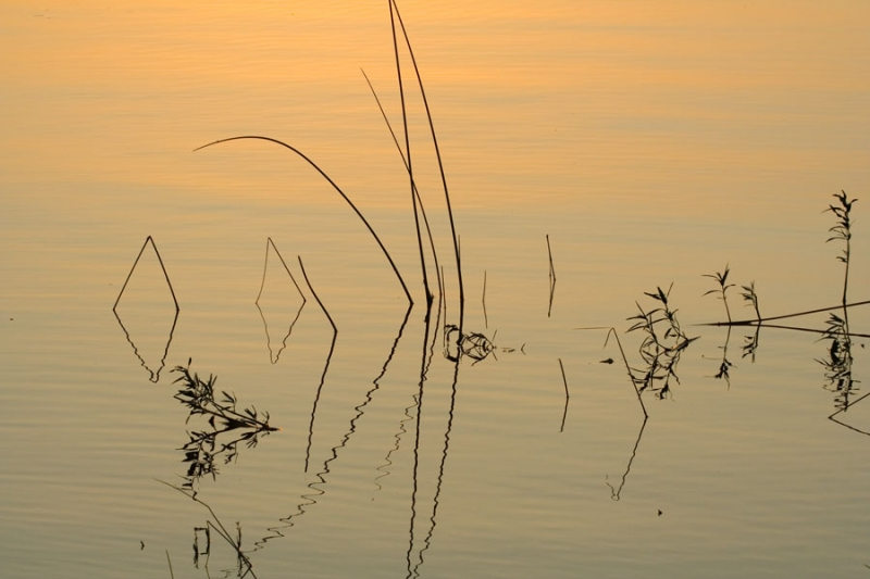 Reeds In Afternoon Water