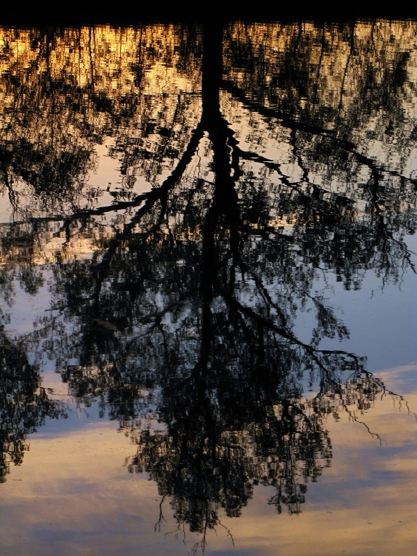 Reflection Of A Tree