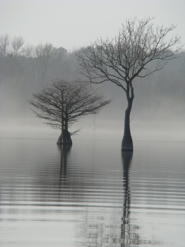 Cypress On Foggy Morning