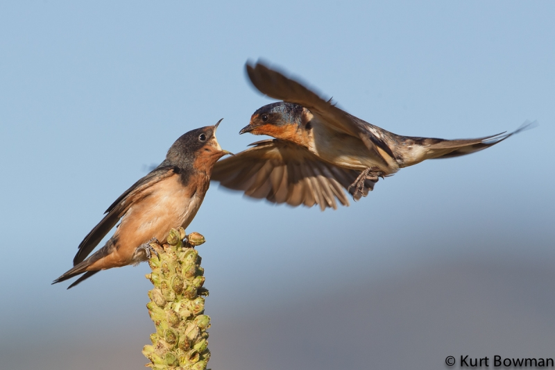 Swallows Feeding 2