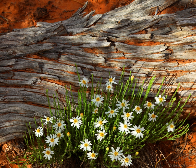 Pinyon Log And Daisies