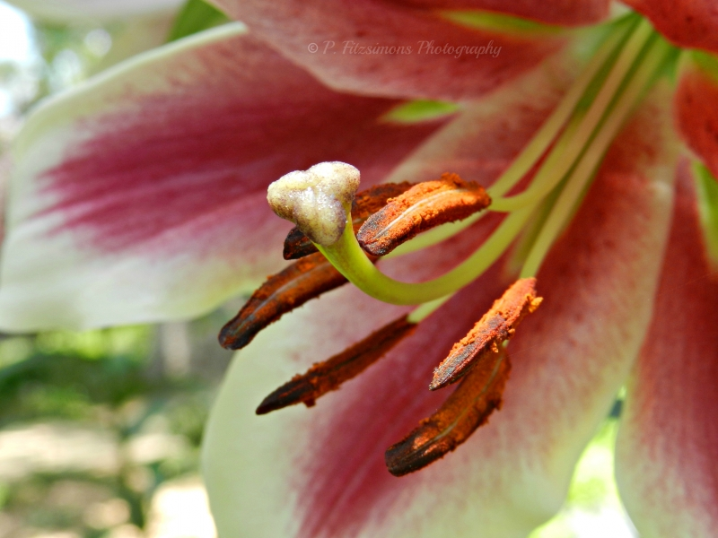 Lily Stamen And Pistil